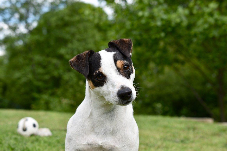 Voici comment dresser et éduquer un Jack Russell Terrier
