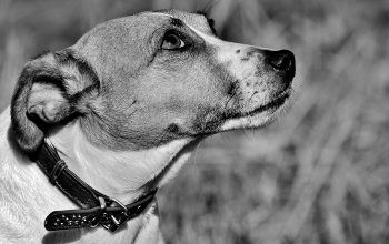 Jack Russell Vieux